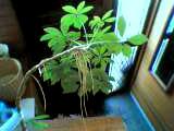 観葉植物の葉っぱの根元から変なヒゲが生えてきましたです…